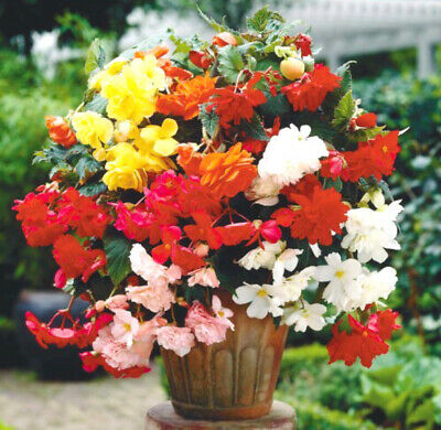 £2.30 • Buy Trailing Begonia Double Mixed F1 - 10 Pelleted Seeds