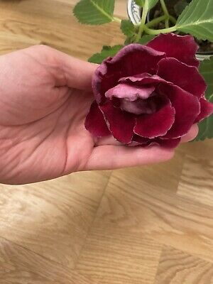£6 • Buy Gloxinia Plant With Velvet Red Colour