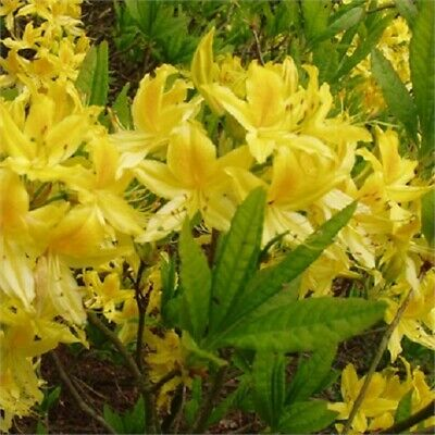£12.50 • Buy Rhododendron Luteum  In 2L Pot Deciduous Azalea Highly Scented 20-25cm  Tall