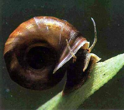 £22.99 • Buy Pond Snail Package. 6 X Mixed Pond Snails With Hornwort Oxygenating Pond Plant.