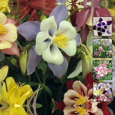 AU5.45 • Buy AQUILEGIA Angel's Ranunculus Orchid X30 Seeds. Mix Of Modern Bicolour Flowers