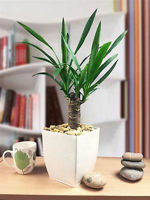 Hardy Evergreen Spineless Stick Yucca House Garden Plant Gloss White Mialno Pot • 25.99£