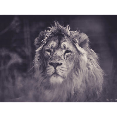 £16.50 • Buy Bredesen Male African Lion Large Canvas Wall Art Print