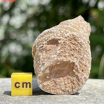 Fossil Solitary Coral, Morocco, Devonian - FSE207 ✔100% Genuine ✔UK Seller • 7.95£