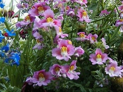 AU3.69 • Buy Butterfly Orchid Flower- Angel Wings-Schizanthus - Mix Colors-100 Seeds