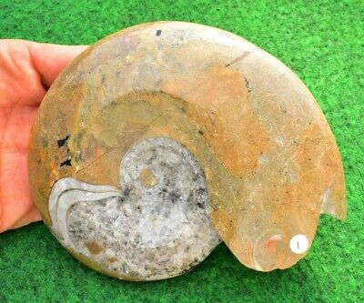 Ammonite Fossil Polished Standing Home Décor  UK ✔ 13cm #01 • 29.95£