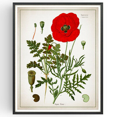 Field Poppy Botanical Print Flower Kitchen Decor Vintage Wall Art Poster Gift • 9.99£