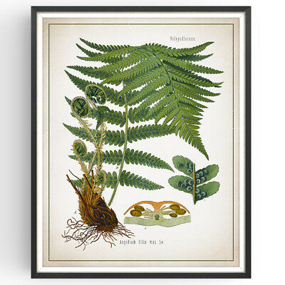£16.99 • Buy Male Fern Botanical Print Foliage Decor Vintage Wall Art Picture Poster Gift