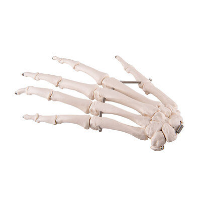 $35.95 • Buy 3B Scientific Left Hand Skeleton Anatomical Model Anatomy A40/2