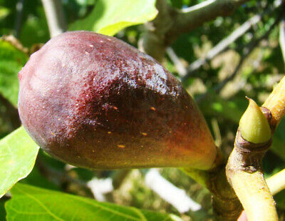 £10.90 • Buy Fig Tree FICUS CARICA Babits, Large Fruited With Red Flesh, SELF FERTILE 15-20cm