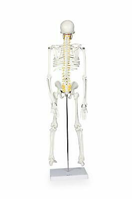 $39.95 • Buy Walter Products B10205 Half Size Human Skeleton Anatomical Model 33  With Stand