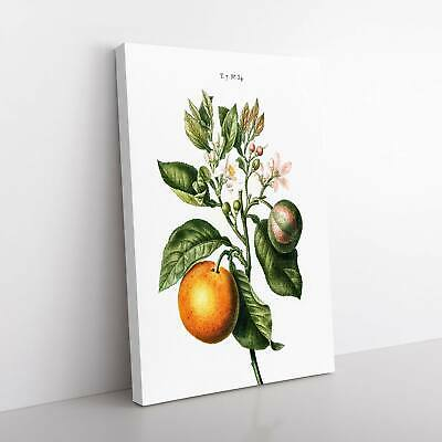 Bitter Orange Tree With Flowers Redoute Picture Framed Canvas Print Wall Art • 22.95£