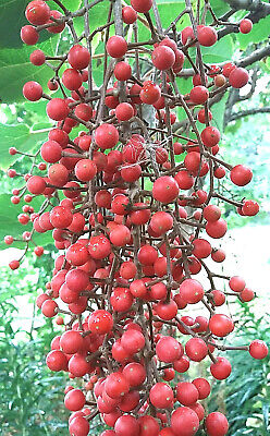 £9.90 • Buy Rare Edible Chinese Wonder Tree IDESIA POLYCARPA Scented Hardy Showy Red Fruits