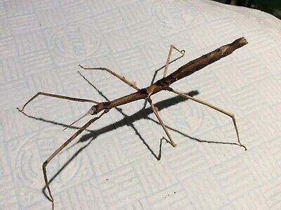 Zomproi Stick Insect Eggs X 30 • 1.25£