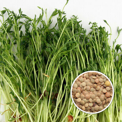 £5 • Buy Green Lentils Organic Seeds For Sprouts Or MicroGreens UK Stock