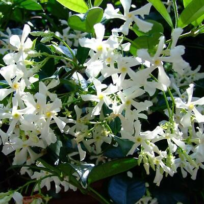 $0.81 • Buy 50PCS White Climbing Jasmine Seeds Fragrant Plant Garden Decor NEW