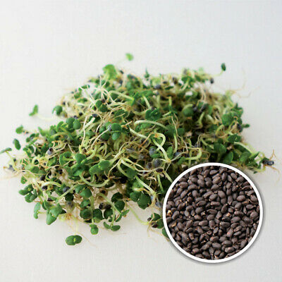 £7.80 • Buy BASIL Green Organic Seeds For Sprouts Or MicroGreens UK Stock