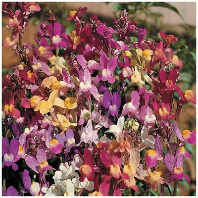 AU4.95 • Buy LINARIA Izzy's Gemstone Orchid Seeds. Exotic Orchid-like Flowers Mix