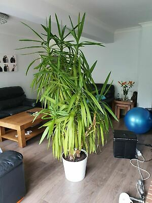Yucca Plant Giant 7ft Plant 10 Years Old • 129.99£