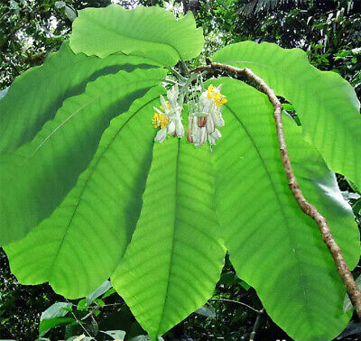 £2.83 • Buy Passiflora Macrophylla Giant Leaved Passion Flower 3 Fresh Seeds RARE!!!