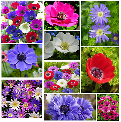 20 Anemone Flower Bulbs Many Colours Plant Now For Beautiful Spring Blooming  • 3.59£