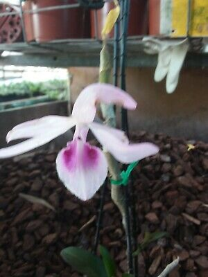 AU21.50 • Buy Orchid Species-dendrobium Anosum-philippines