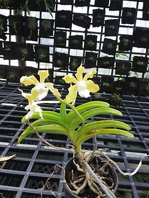 AU23.50 • Buy Orchid Species -vanda Tessalata Alba-sri Lanka