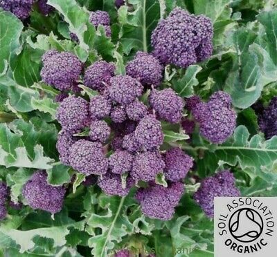£2.49 • Buy Premium Organic 100 X BROCCOLI Purple Early Sprouting Seeds - Quality UK Seed