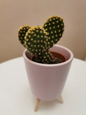 Opuntia Microdasys 'Polka Dot' / 'Angel Wings' / 'Bunny Ears' 6cm Growing Pot  • 5.99£