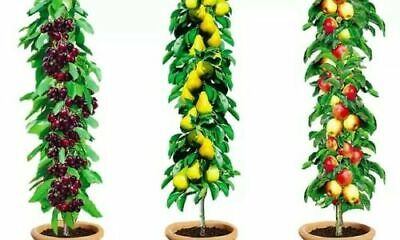 £38.99 • Buy 3 X Columnar Bare Root Fruit Trees Collection Apple, Cherry, Pear Garden Patio