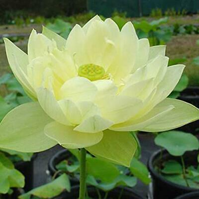 $ CDN18.99 • Buy 100 Yellow Lotus Seeds
