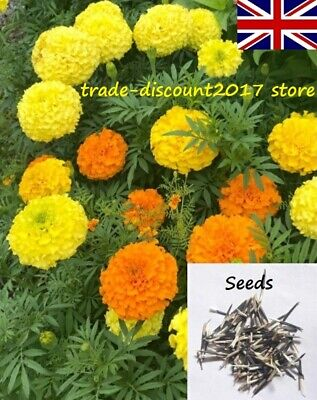 100 Seeds Of African Marigold Crackerjack (Tagetes Erecta) Annual Flower Plant • 3£