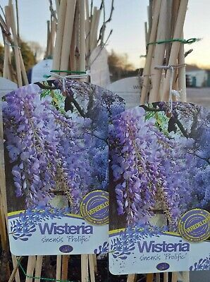 Wisteria Sinensis Prolific - 65/70cm Plus Tall - Grafted - £19.99 Plus Postage • 19.99£