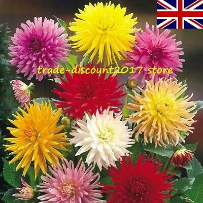 25 Seeds Of Dahlia Cactus Hybrids Mix Half Hardy Annual Flower Plant UK SELLER • 3£