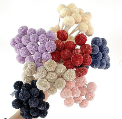 £21.14 • Buy Preserved Billy Buttons Premium Natural Dried Flowers Home Wedding Bouquet Decor