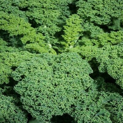 £2.09 • Buy Vegetable - Curly Kale Borecole Afro - 250 Seeds - UK Seller