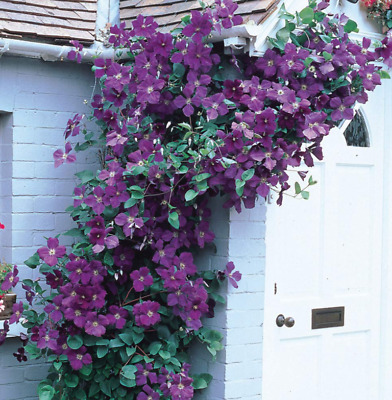 Clematis Purple Flowers Hardy Garden Climber Plant Flowering Shrub | 9cm Pot • 14.95£
