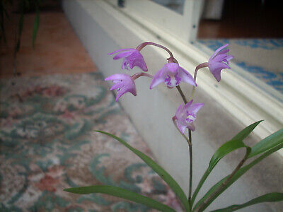 AU9.99 • Buy Dendrobium Kingianum Orchid In A 100mm Pot With 7 Stems. Currently No Flowers