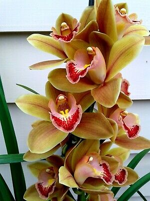 AU28 • Buy Cymbidium Orchid With 2 Flower Spikes - Tangerine 'Glitter'