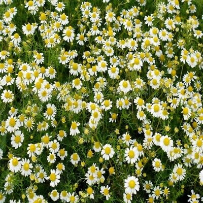 £2.09 • Buy Garden Herb Chamomile 2500 Seeds Summer Outdoor Plant Flower Easy Grow Your Own