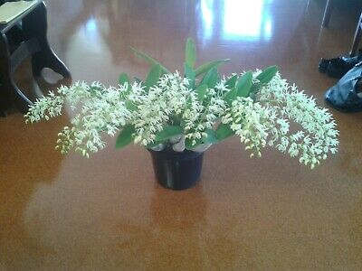AU12.50 • Buy Dendrobium Speciosum Orchid With 14 Flower Spikes - Sydney Rock Orchid