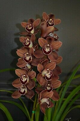 AU35 • Buy Cymbidium Orchid Khan Flame Tuscany Champion Brown Standard 1 Flower Spike