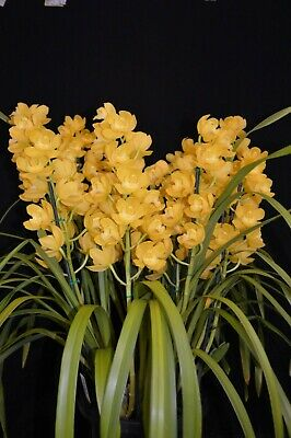 AU40 • Buy Cymbidium Orchid Pharaoh's Dream Dural - Bright Yellow Int Champion 2 Spikes