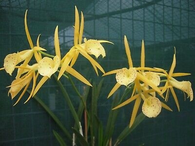 AU32 • Buy Blc Yellowbird, Spotted Yellow Clusters, 2 Flower Spikes On Way,see Photographs