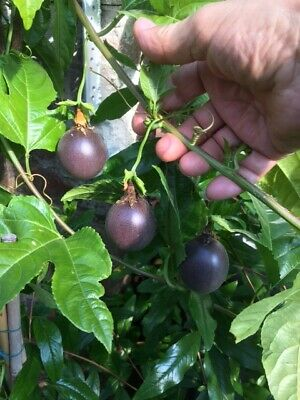 £35 • Buy Passion Fruit Plant Producing Wonderful Flowers And Aromatic Fruits In 2 Lit Pot