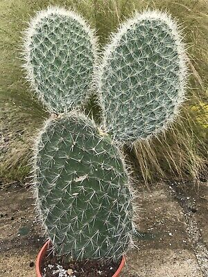 £11.51 • Buy Large Cactus  -  Big Opuntia Pailana Plant  -  Approx 36cm Tall Plant