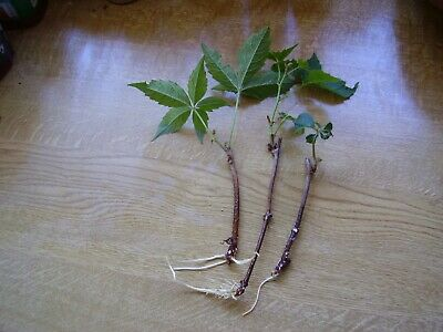£6 • Buy Bonsai Trees, Three Virginia Creeper Rooted Cuttings For £6