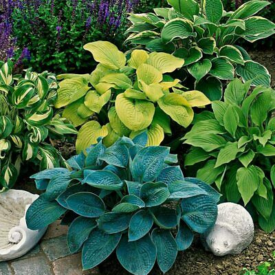 £5.99 • Buy Hosta Plant Large (gibōshi) Japanese Tropical Delivered To Your Door