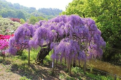 £2.87 • Buy Chinese Wisteria (Wisteria Sinensis) 10 Seeds