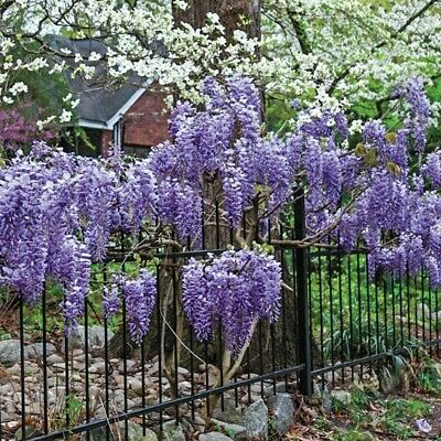 £4.28 • Buy 15+ FRESH Seeds Wisteria Sinensis /Chinese Wisteria Tree -Gorgeous Blooms!